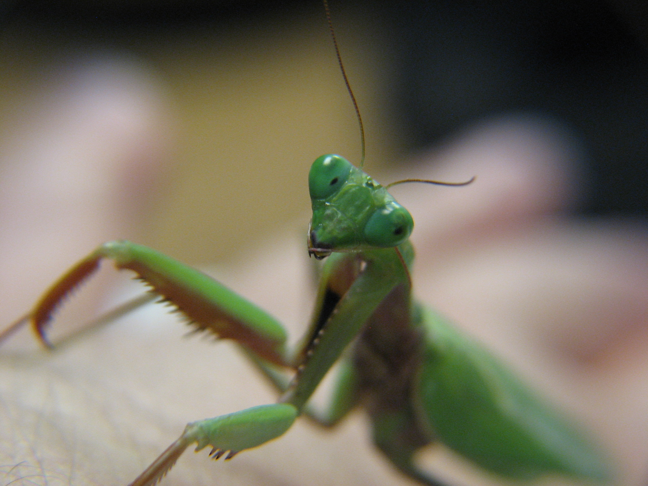 Preying Mantises