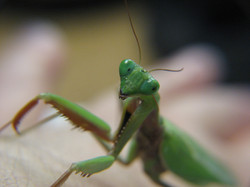 Preying Mantises