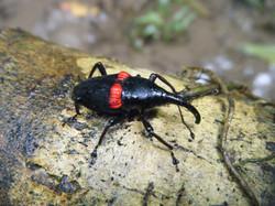 Impressive Weevil