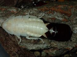 Hissing Roach - Crawl free