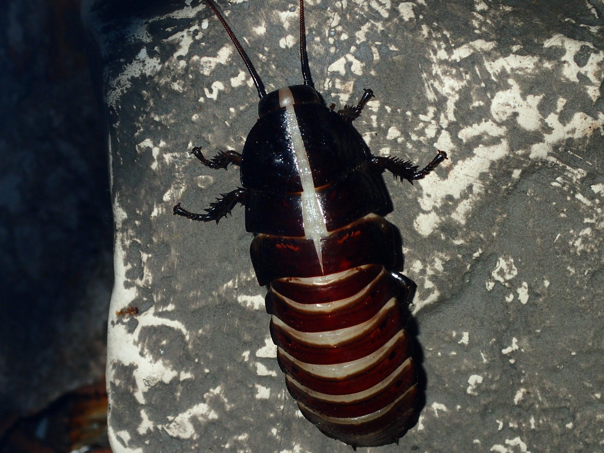 Hissing Roach - Split widens