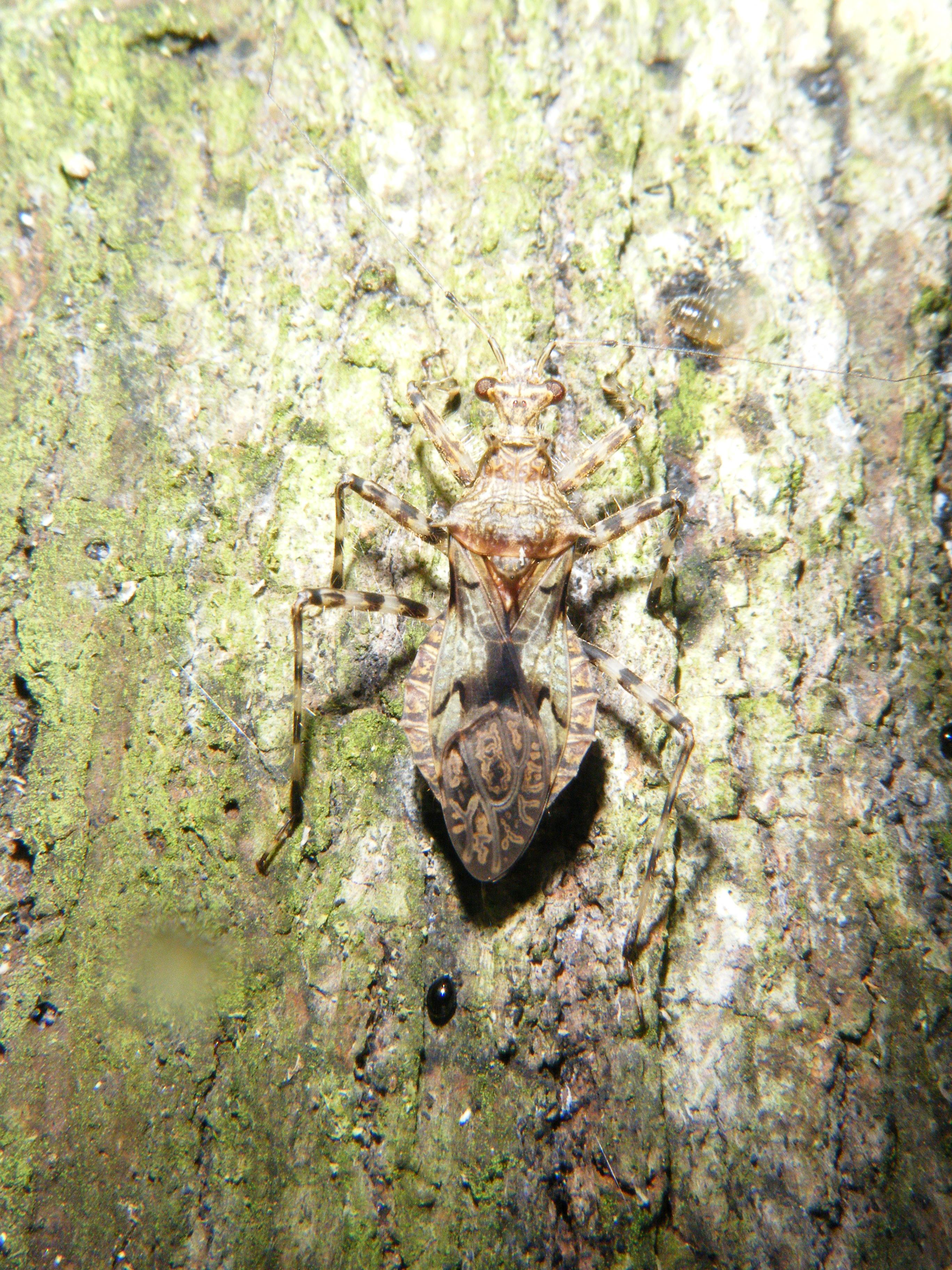 Camouflaged Hemiptera
