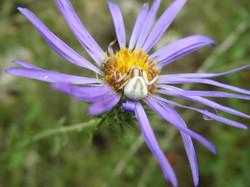 Crab spider on flower
