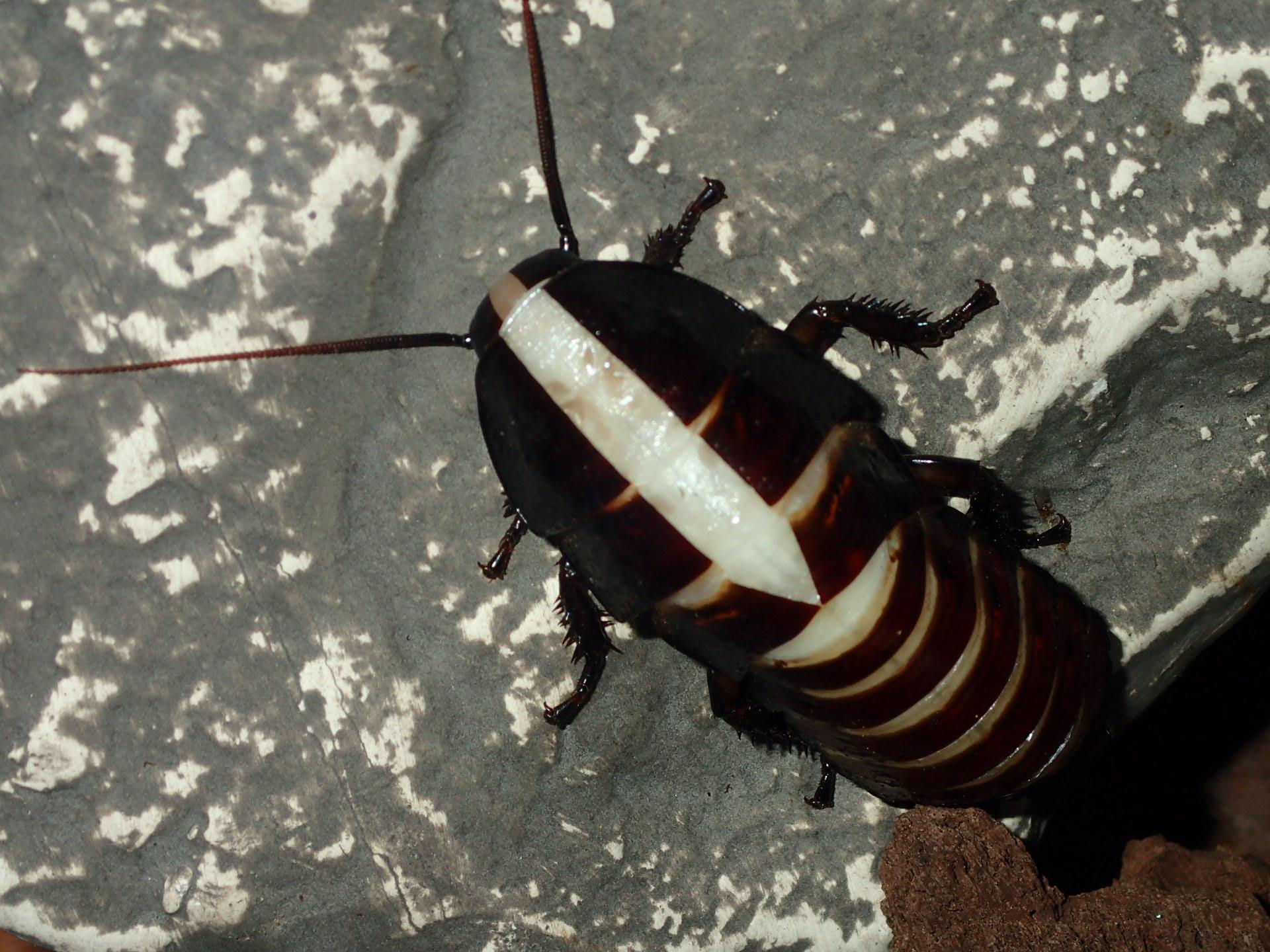 Hissing Roach - Split expands