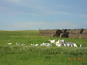 Savanna goats on the South Dakota Prairie