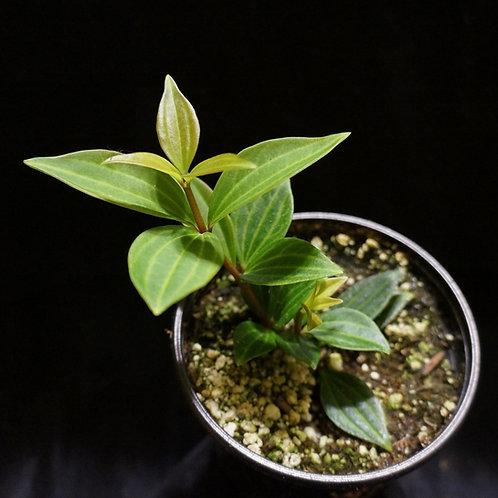 Peperomia puteolata