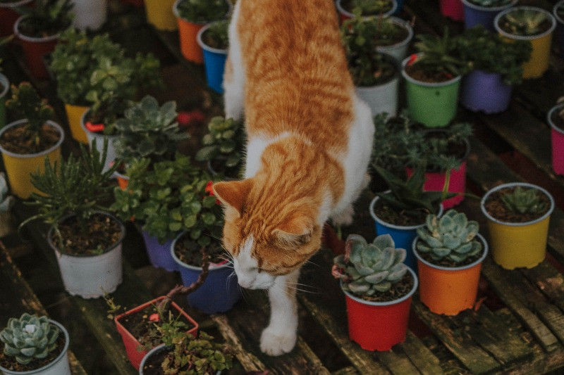Orange & white cat walking through pallet of succulents in colorful planters.