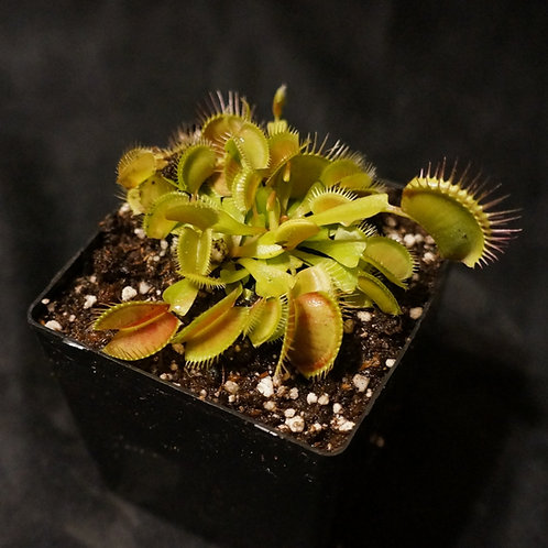 Dionaea muscipula (Venus Flytrap)