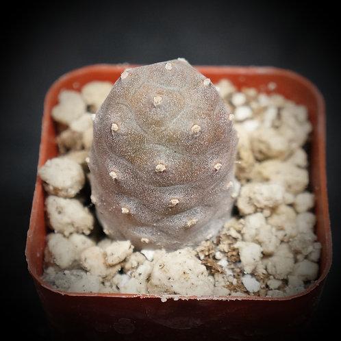 Tephrocactus articulatus v. inermis