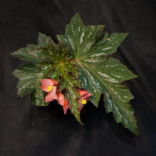 Begonia 'Lana'