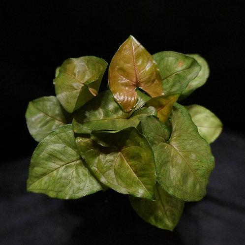Syngonium podophyllum 'Maria Allusion'™