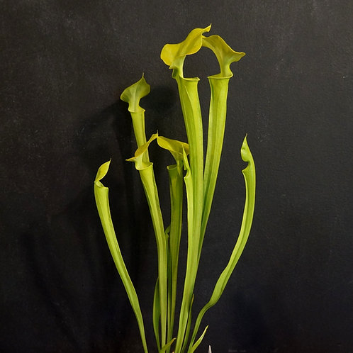 Sarracenia flava (Yellow N. American Pitcher Plant)