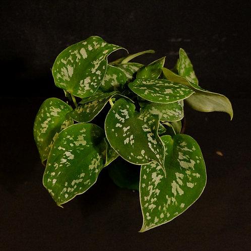 Scindapsus pictus (Satin Silver Pothos)