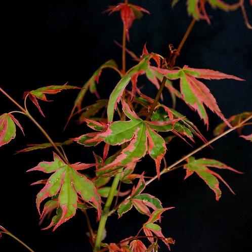 Acer palmatum 'Shojo no mai'