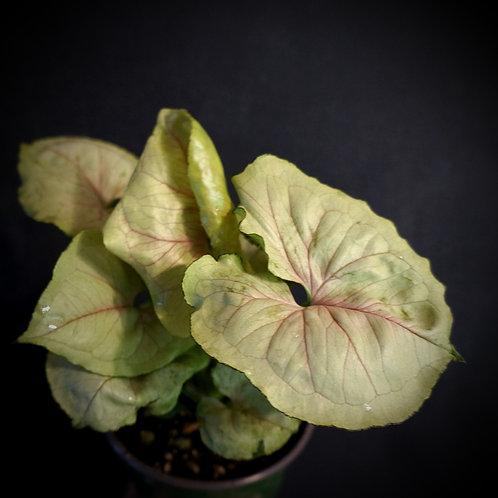 Syngonium podophyllum 'Bold Allusion'™