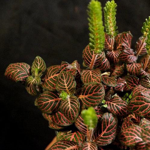 Fittonia albivenis 'Pink' (Nerve Plant)