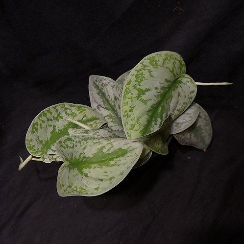 Scindapsus pictus 'Exotica'
