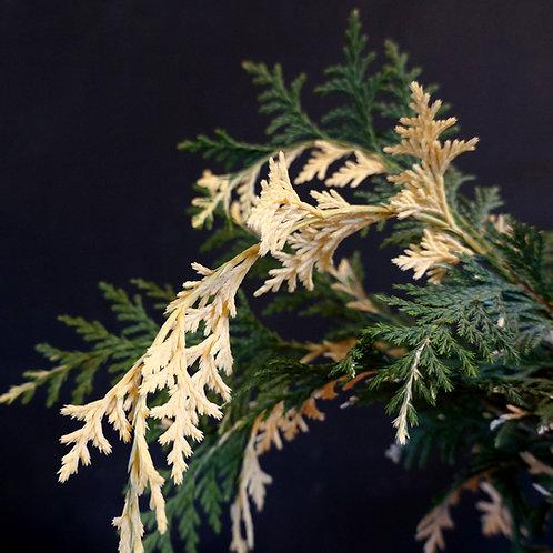 Cupressus nootkatensis 'Sparking Arrow'