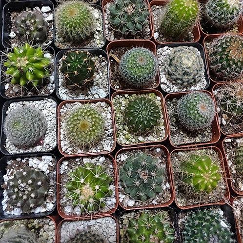 "4 Assorted Cactus (2"" pots)"