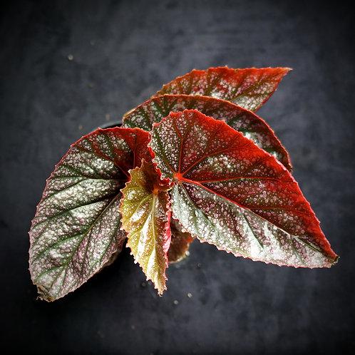 Begonia 'Pink Mink'