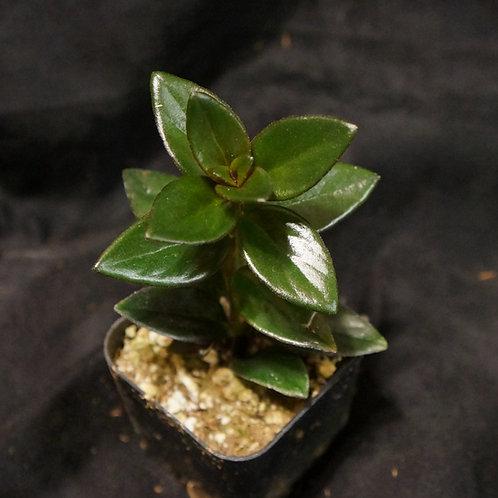 """Nematanthus sp. """"Goldfish Plant"""""""