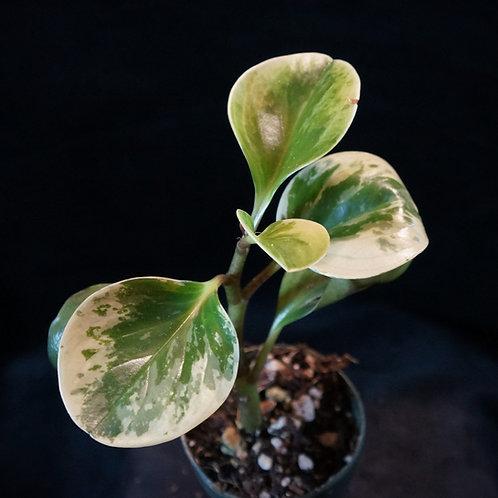 Peperomia obtusifolia Variegata (Peppered Variegation)