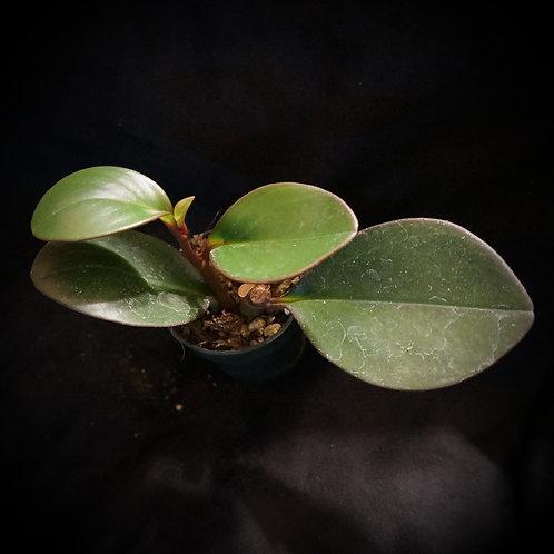 Peperomia clusiifolia [SM]