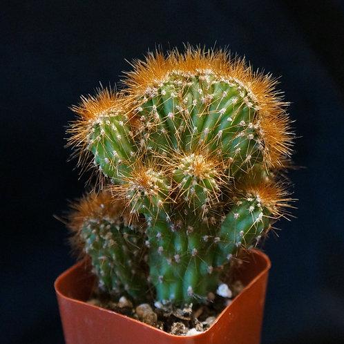 """Cereus peruvianus monstrose """"Rojo"""""""