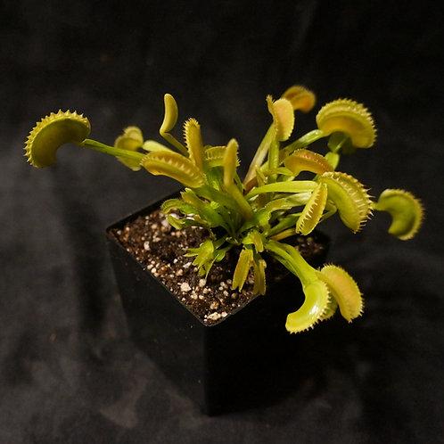 Dionaea muscipula 'Dente' ( Venus Flytrap )