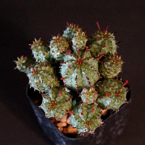 Euphorbia monstrose