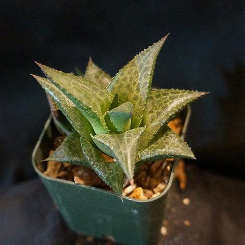 Haworthiopsis tessellata ( Haworthia tessellata )