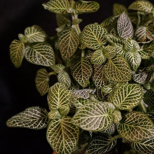 Fittonia albivenis 'White' (Nerve Plant)
