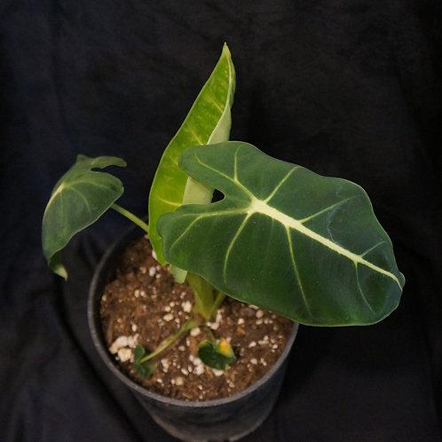 Alocasia micholitziana 'Frydek'