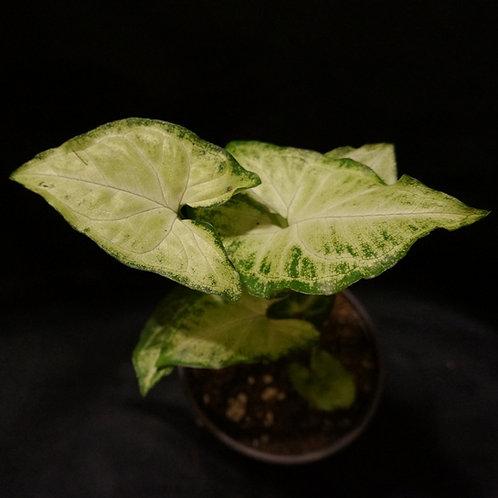 Syngonium podophyllum 'White Butterfly'