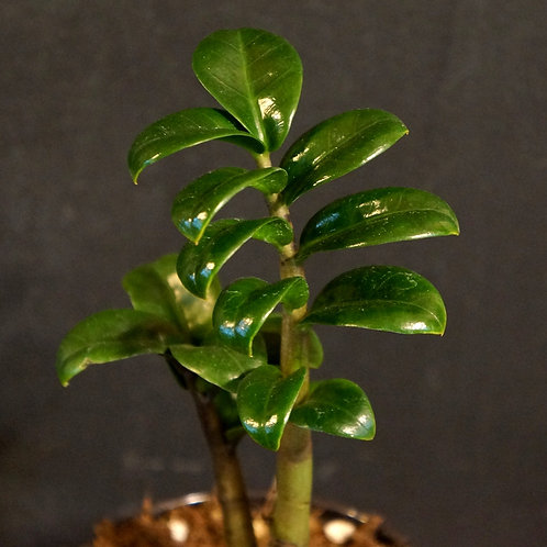 Zamioculcas zamiifolia 'Zenzi'
