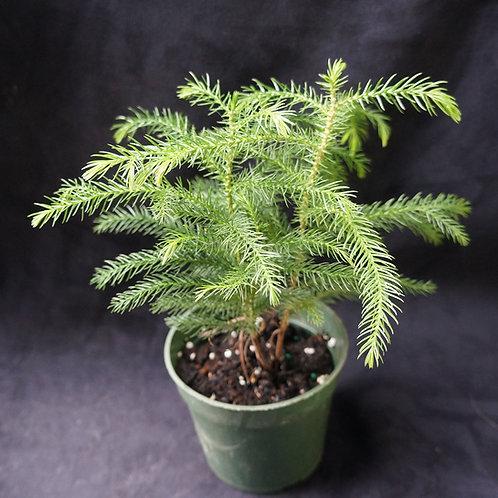 Araucaria heterophylla (Norfolk Pine)