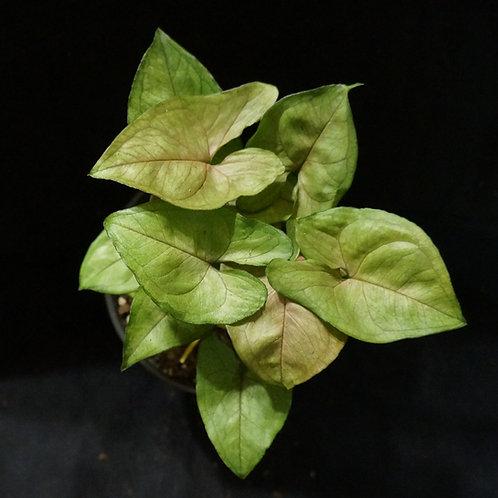 Syngonium podophyllum 'BerryAllusions'™