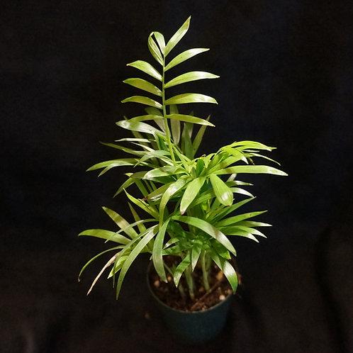 Chamaedorea elegans (Parlor Palm) [SM]
