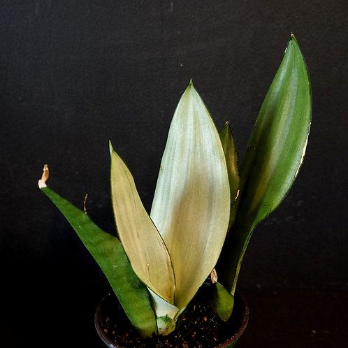 Sansevieria trifasciata 'Moonshine' (Snake Plant)