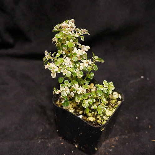 Pilea microphylla 'Variegata' [SM]