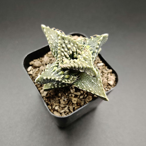 Faucaria felina subsp. tuberculosa