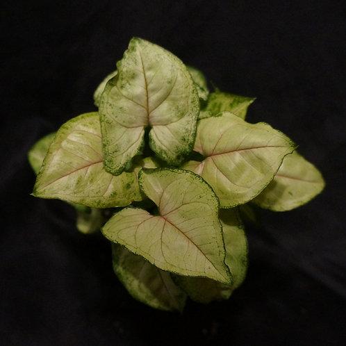 Syngonium podophyllum 'Berry Allusion'™
