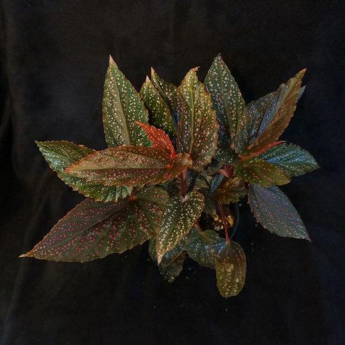 Begonia 'Miss Mummy'