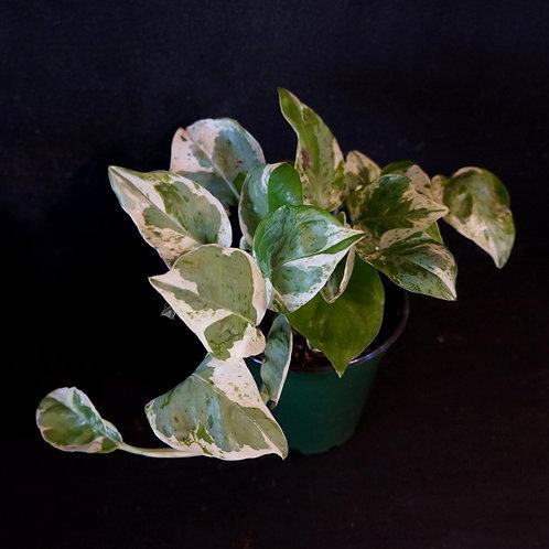 Epipremnum aureum 'Pearls and Jade'®