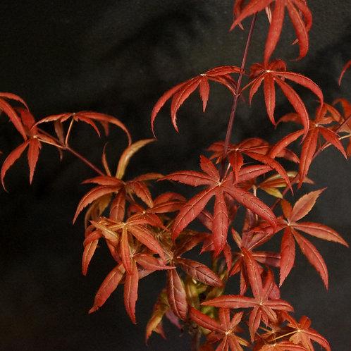 Acer plamatum 'Peve Starfish'