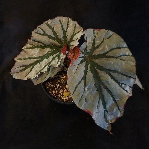 Begonia 'Looking Glass'