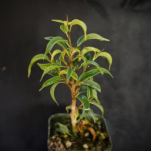 Ficus benjamina 'Mini Lucie' [SM]