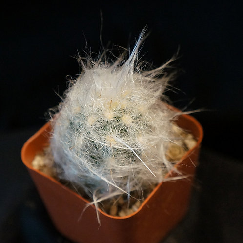 Oreocereus trollii ( Old Man Of The Andes Cactus )