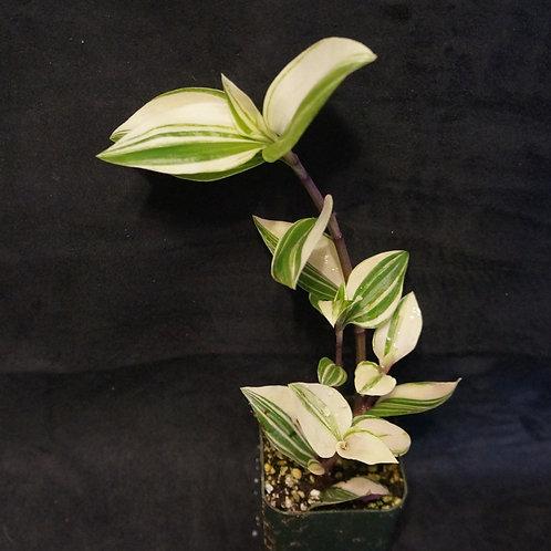 Tradescantia fluminensis 'Tricolor'