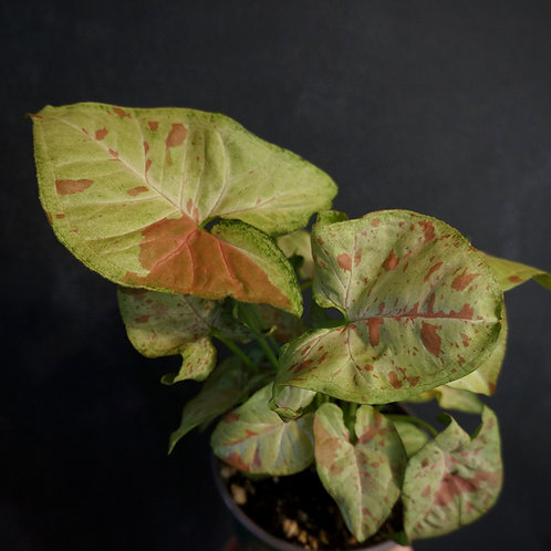 Syngonium podophyllum 'Confetti'